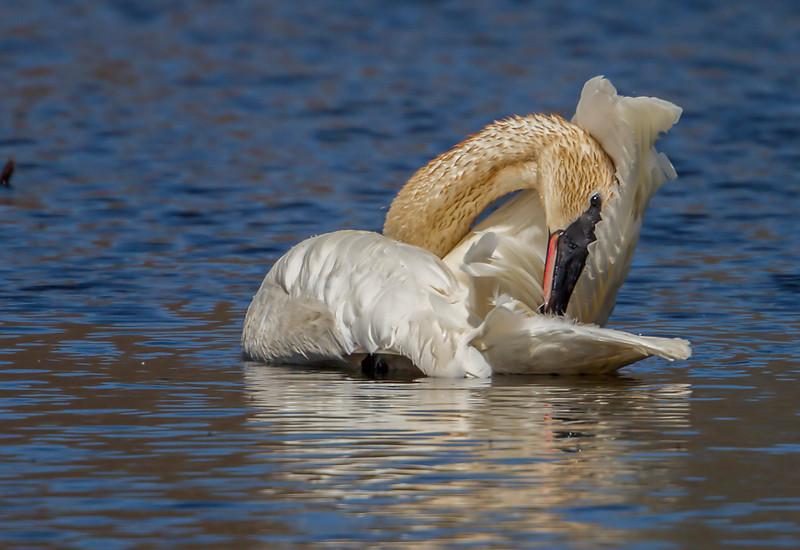 smug swans 11.jpg