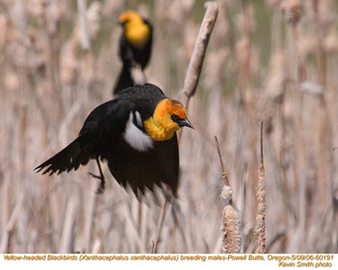YellowHeadedBlackbirdsM60191.jpg