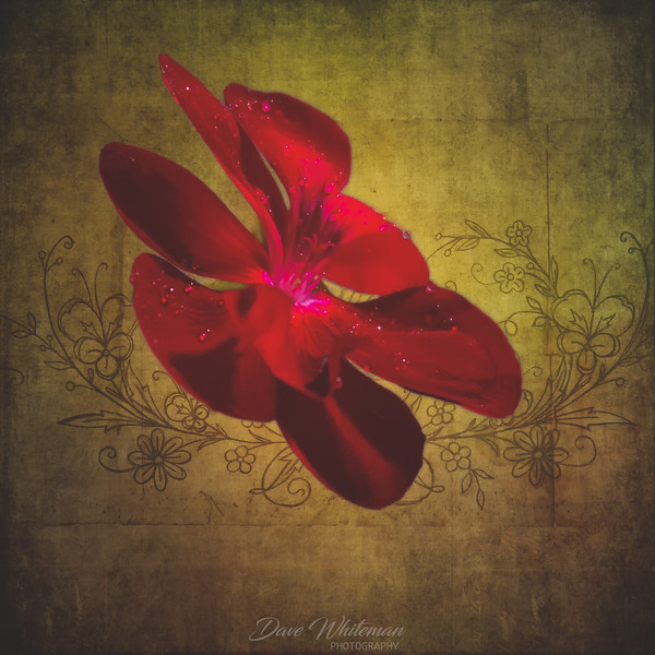 Geranium in Isolation-Edit-Edit.jpg