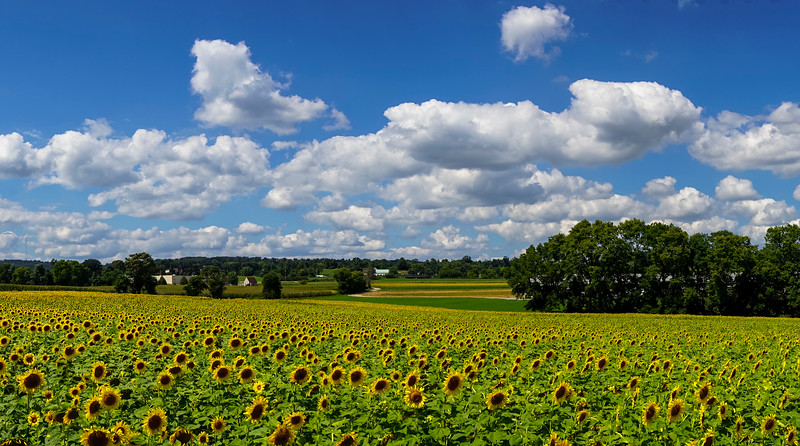 sunflowers - sunflower field pano wrightsville (p).jpg