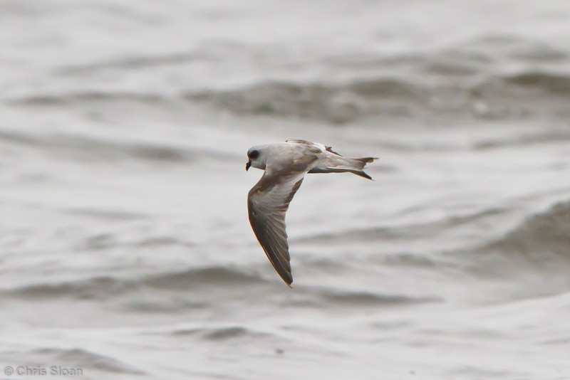 Fork-tailed Storm-Petrel at pelagic out of Bodega Bay, CA (10-15-2011) - 214.jpg