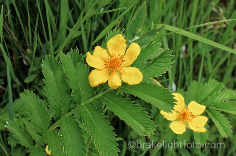 Silverweed - Potentilla anserina ssp pacifica