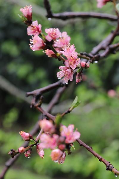 IMG_1372_Peach_Blossoms_2400x3600.jpg
