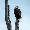 Bald Eagle - Pembroke Pines, FL - April 2013