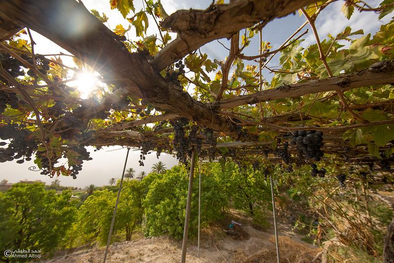 Grape - Wakan village - Nakhal214- Oman.jpg