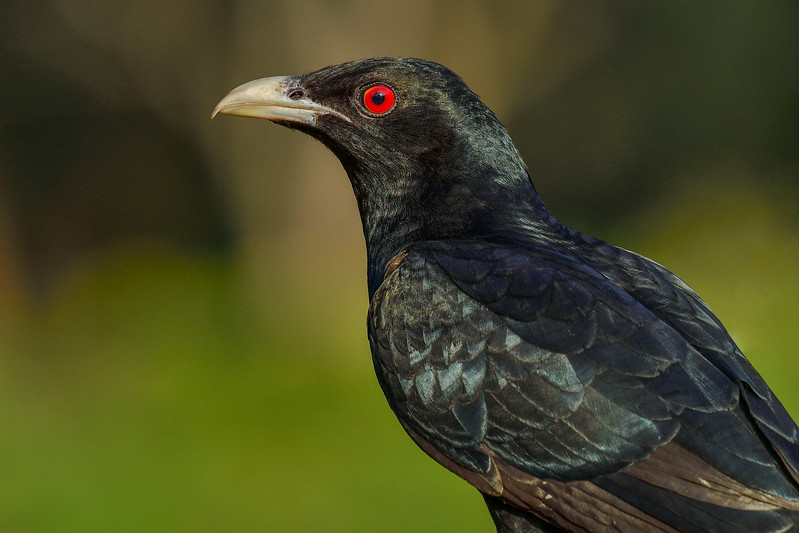 Asian-Koel-Male-Hampi.jpg