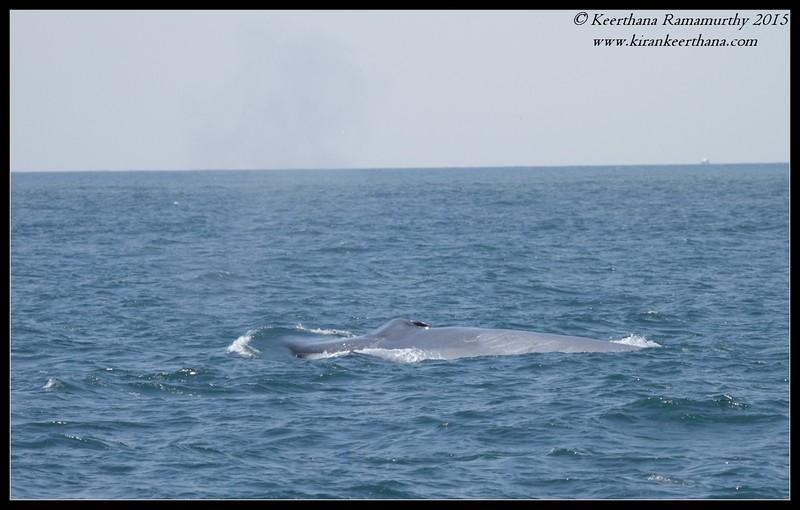 Blue Whale, Whale Watching trip, San Diego County, California, June 2015