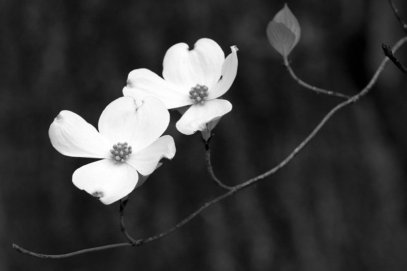 April2019BWdogwood114of365.jpg