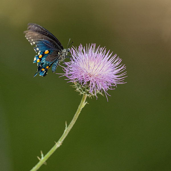 PipevineSwallowtail00.jpg