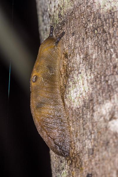 Athoracophorus bitentaculatus