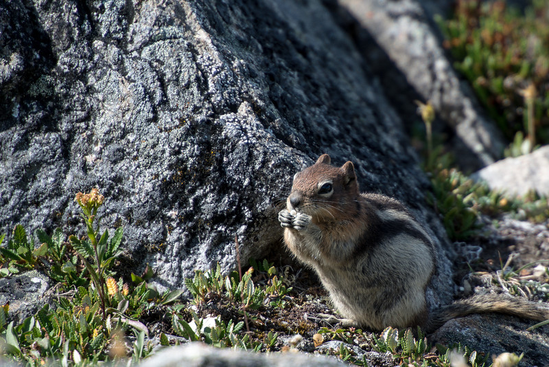 A ground squirrel in Jasper National Park. This one is munching on something tasty.