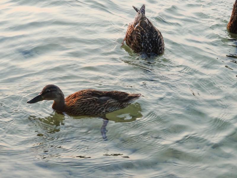 186 Michigan August 2013 - Ducks.jpg