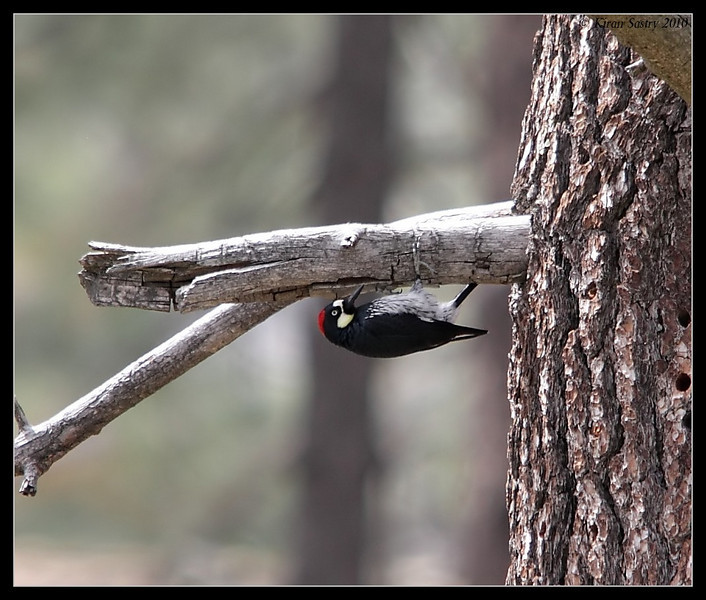 Acorn Woodpecker acrobatic style, Cuyamaca Rancho State Park, San Diego County, California, March 2010