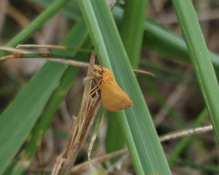 Red-crossed Buton Slug Moth ?