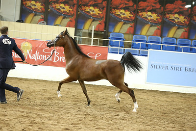 6 Silver Sire Auction Colts & Geldings