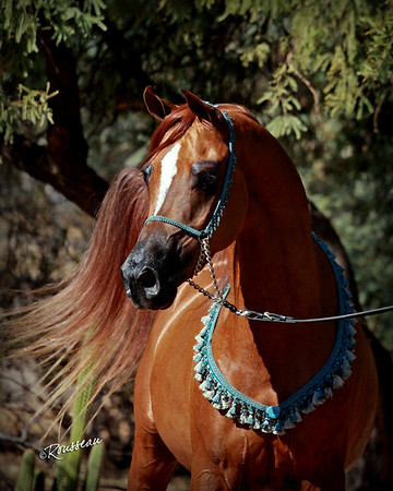 David Lowe Arabians