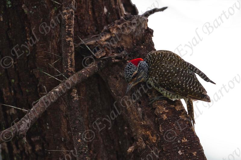 Green-Backed Woodpecker_Masai Mara Kenya_8.2010_Eyal Bartov 2.jpg