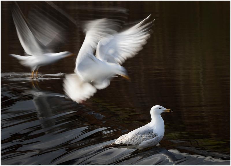 Herring gulls on the river