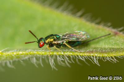 Green Iridescent Braconid Wasp
