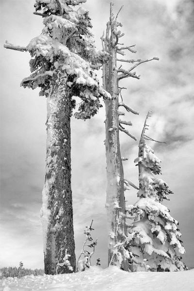 Alpine fir & snow 2422 b&w N.jpg