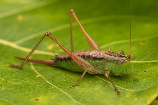 Conocephalus semivittatus - Blackish meadow katydid