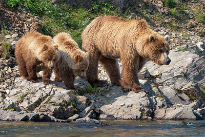 Katmai National Park, coastal brown bears