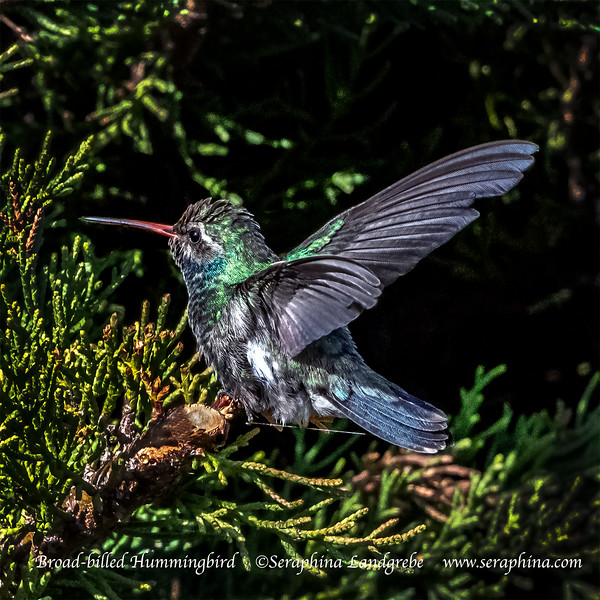_DSC4757road-billed Hummingbird Wings.jpg