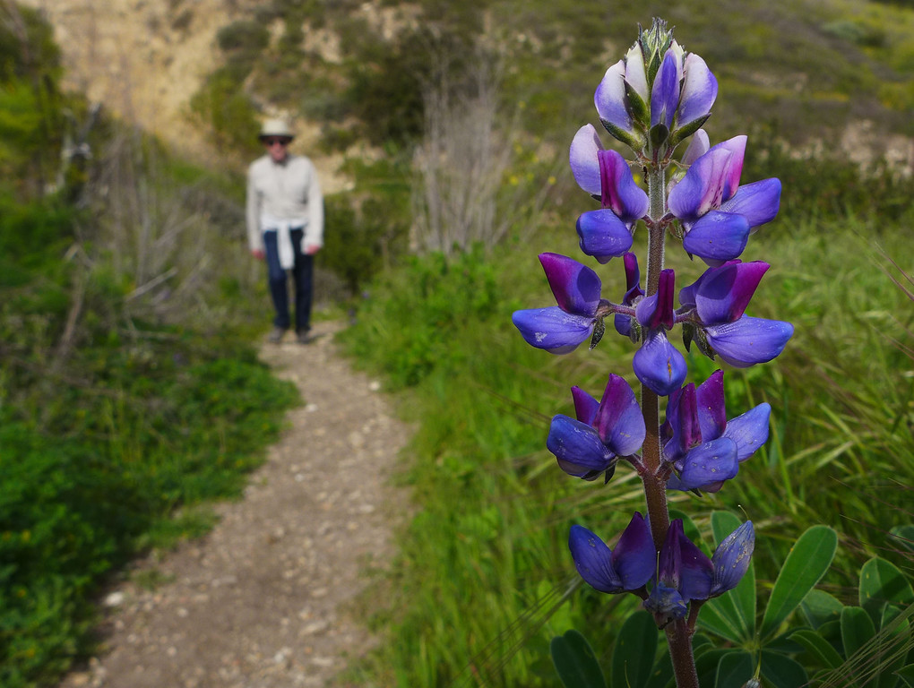 . Wildflowers are in bloom along hiking trails within the Upper Filiorum Reserve in Rancho Palos Verdes.  Arroyo Lupine lines the Zotes Cut Across trail near Vanderlip Canyon. 20130320 Photo by Steve McCrank / Staff Photographer