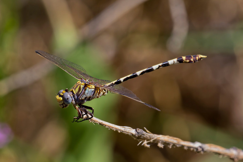 Gray Sanddragon, Progomphus borealis, Spur Cross Recreation Area, Maricopa County