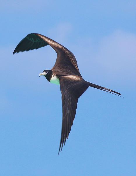 Female frigate bird turning