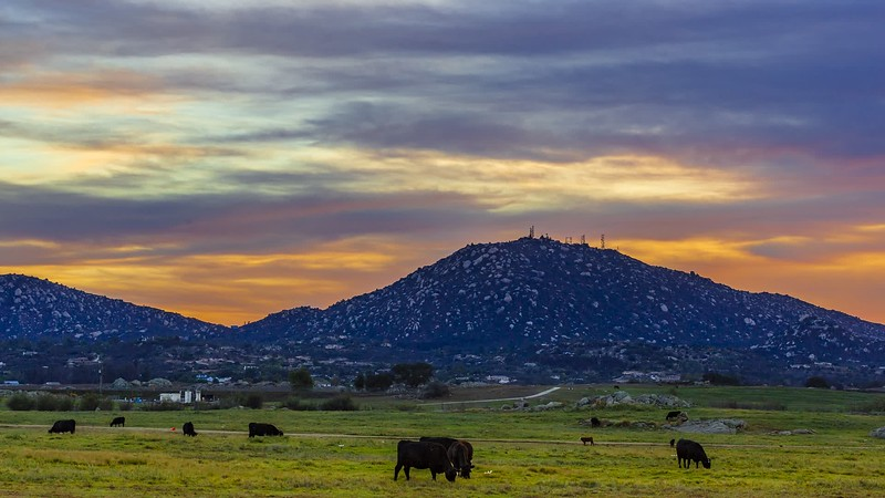 Happy Cows Enjoy the Epic Sunset In Ramona, California