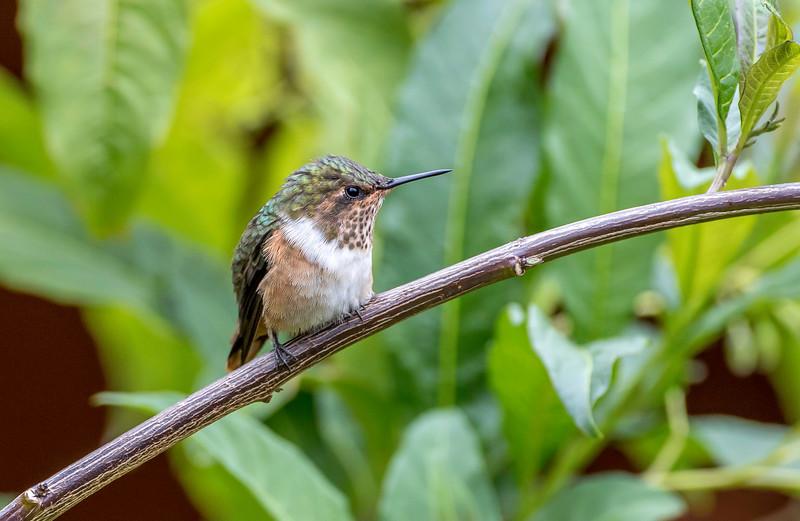 Scintillant Hummingbird, female