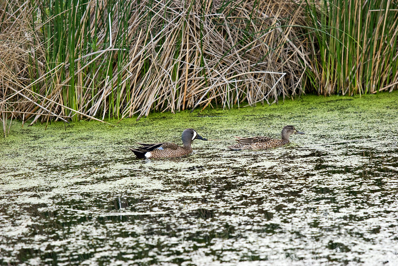 Blue-winged Teal - Male & Female