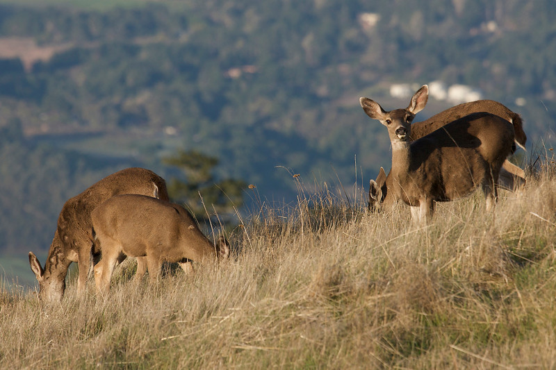 Early morning deer on Bolinas ridge, 01.04.09