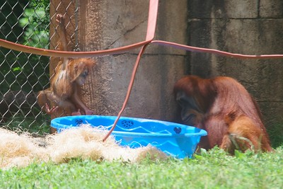 Orangutans at the Greenville Zoo