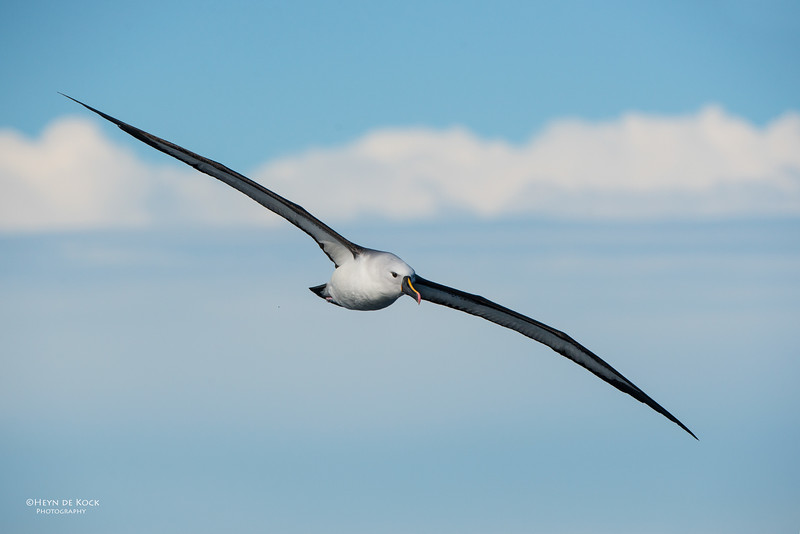Indian Yellow-nosed Albatross, Wollongong Pelagic, NSW, Jul 2014-10.jpg