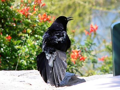 Black Birds & Crows