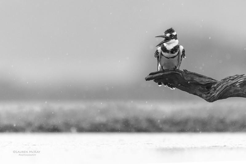 Pied Kingfisher, b&w, Zimanga, South Africa, May 2017-1.jpg