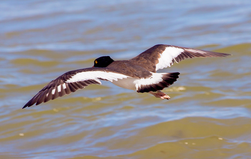 The Oyster Catcher takes flight.