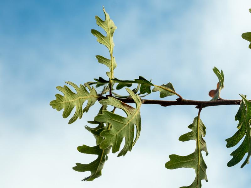 Quercus lobata, valley oak