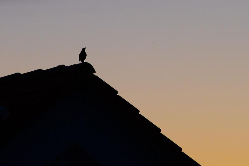 Black Bird singing.jpg