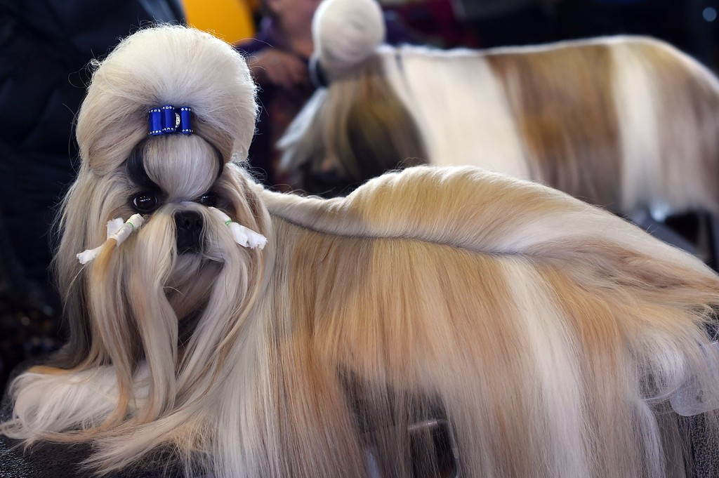 . A Shih Tzu in the benching area at Pier 92 and 94 in New York City on the first day of competition at the 139th Annual Westminster Kennel Club Dog Show February 16, 2015. The Westminster Kennel Club Dog Show is a two-day, all-breed benched show that takes place at both Pier 92 & 94 and at Madison Square Garden in New York City.    AFP PHOTO /  TIMOTHY  A. CLARYTIMOTHY A. CLARY/AFP/Getty Images