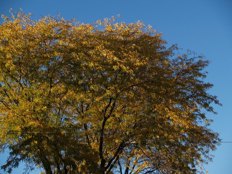 Honey Locust tree (Gleditsia triacanthos) aglow in early autumn