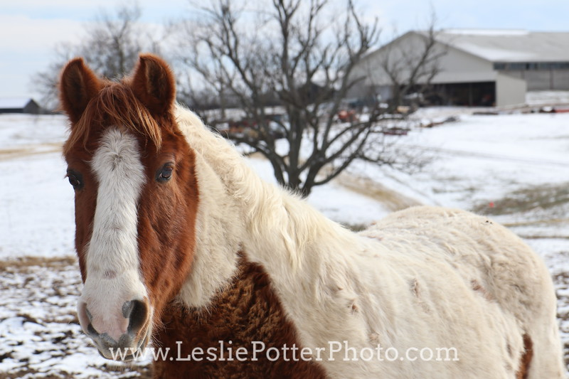 Pinto Pony in the Snow