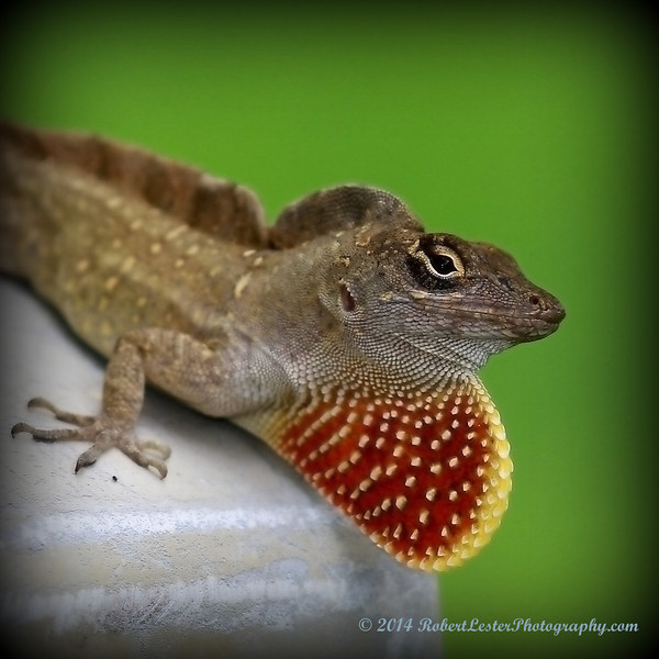 2014-06-01_IMG_0538__Brown Anole ,Clearwater,Fl..JPG