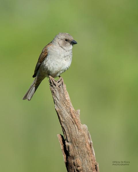 Southern Grey-headed Sparrow, Hobhouse, FS, SA, Dec 2013.jpg