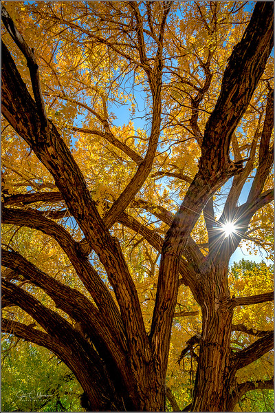 JZ7_7663 Cottonwood Tree Sunstar LPr1W.jpg