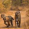 Tigress and cubs walking in a forest path