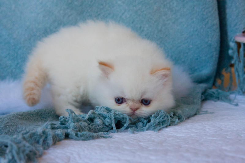 Himi_Kittens_Nov30-8072.jpg