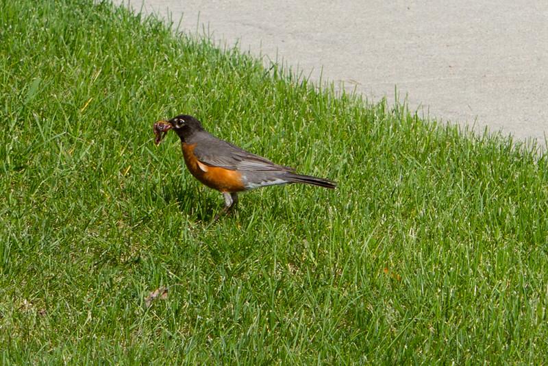 Mr. Robin brings home a huge beak full of worms.